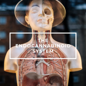 the Endocannabinoid System body