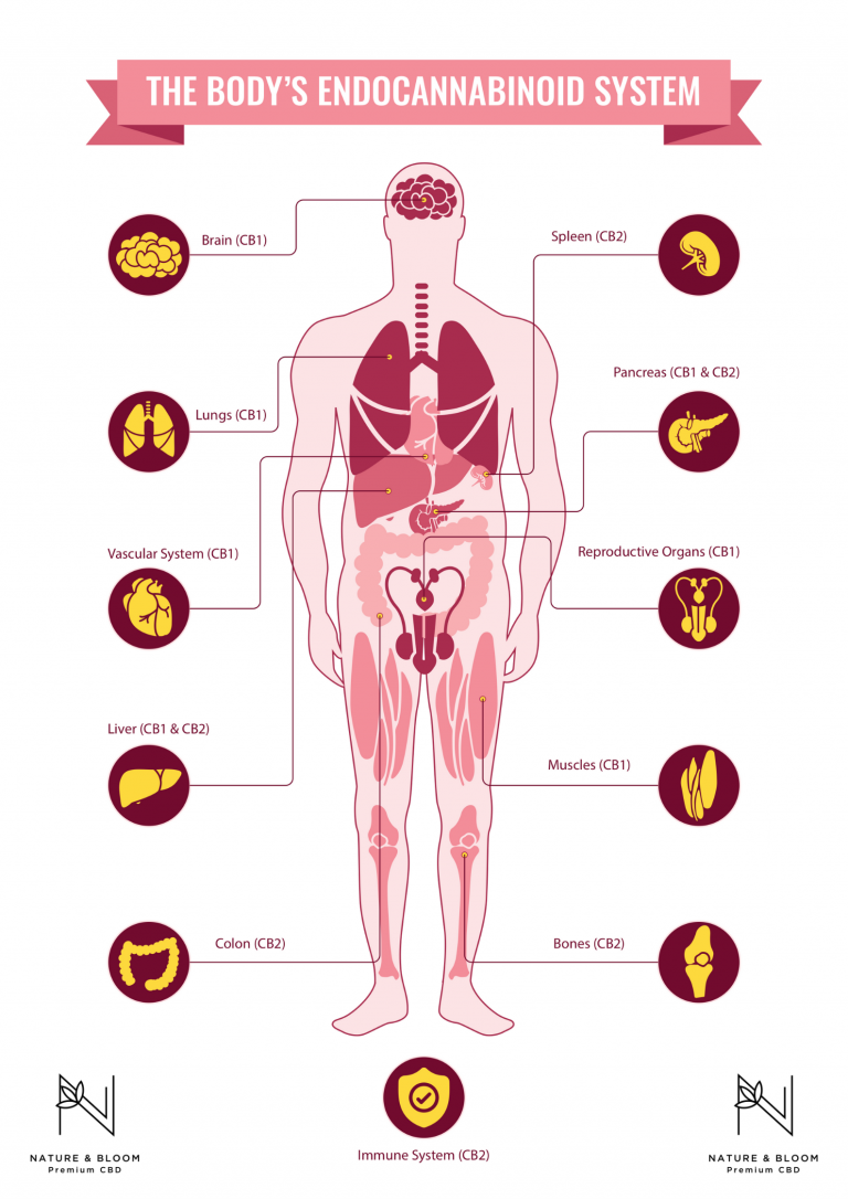 the bodies endocannabinoid system