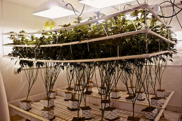 hydroponics and cannabis