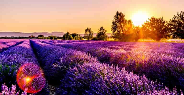 Fields of Lavender Linalool